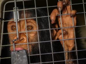 EAL chimps 4