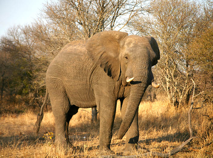 Elephant Action League - elephant in Kruger National Park, South Africa