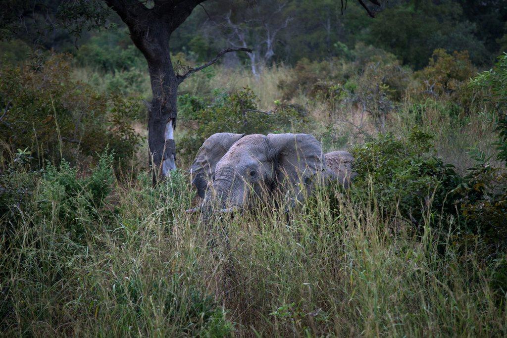 Elephant Advocacy League (EAL) - Elephant (New York Times)