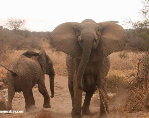 Elephant Advocacy League - Elephants in Tanziania corridors - photo Rhett Buttler