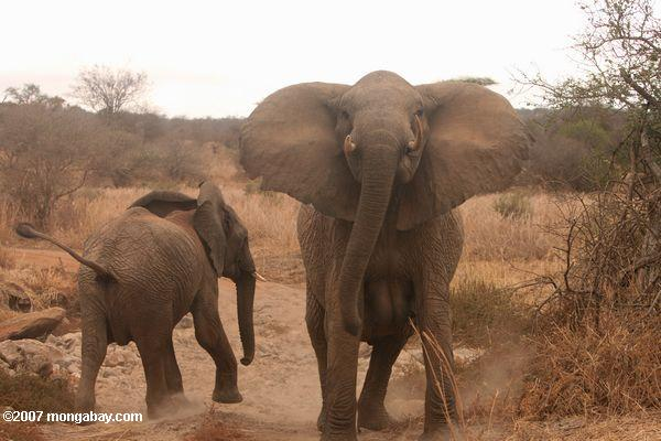 Elephant Advocacy League - Elephants in Tanziania corridors - photo Rhett Buttler