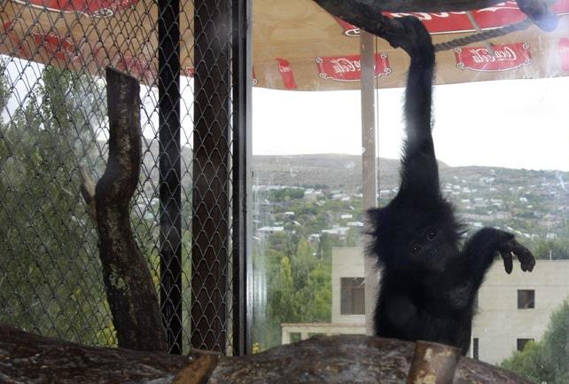 Elephant Action League - Armenia, a center for wildlife traffic. A baby bonobo.