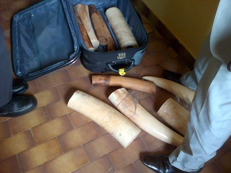Elephant Action League - ivory from Gabon (II)