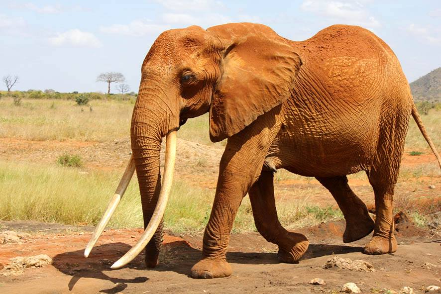 Elephant Action League - Old female in Tsavo, Kenya - Photo credit Lucy King
