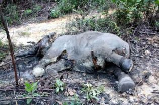 Elephant Advocacy League - Sumatran elephant killed - photo WWF