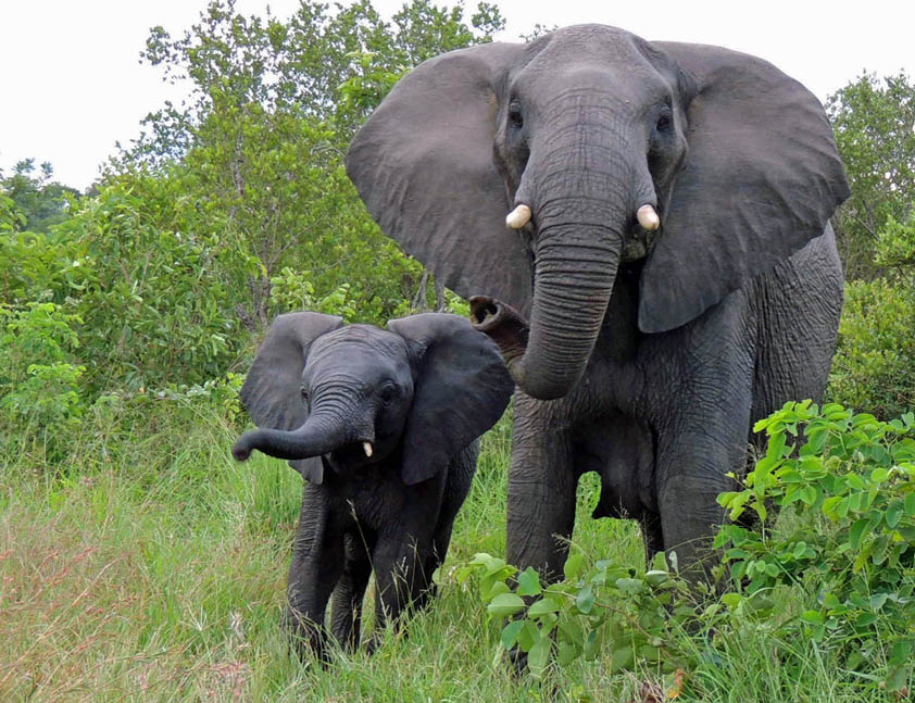 Elephant Action League - elephant and calf in South Africa